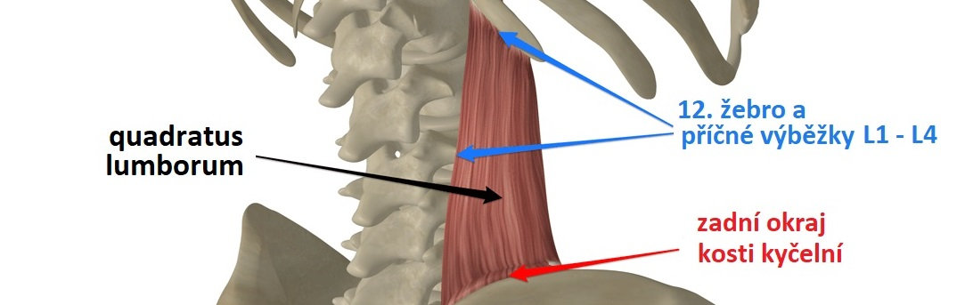 quadratus-lumborum-attachmentsCZ1083x343